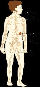 Lymfoedeem-Lymfevatenstelsel